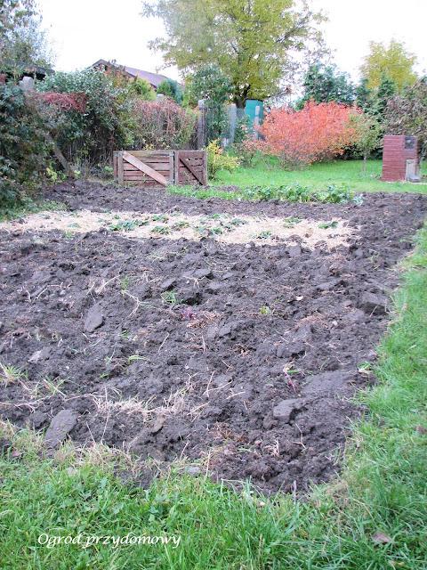 praca w ogrodzie, sadzenie czosnku, wkopanie obornika, ogród przydomowy