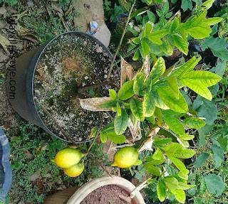 cara budidaya tanaman tabulampot