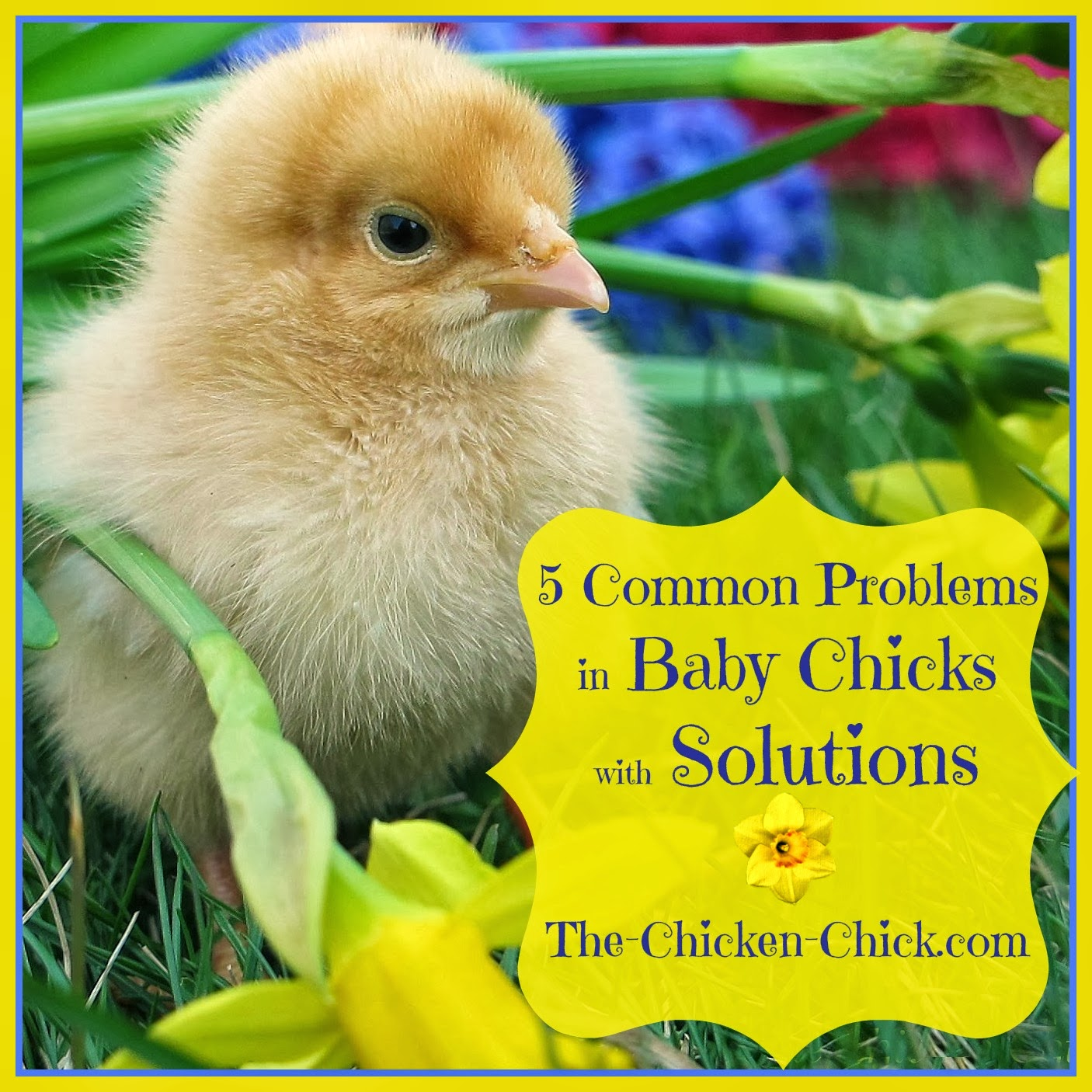 Have your ChickenFirst Aid Kit stocked and ready for action before baby chicks arrive. The five most common problems in baby chicks are all easily treated.