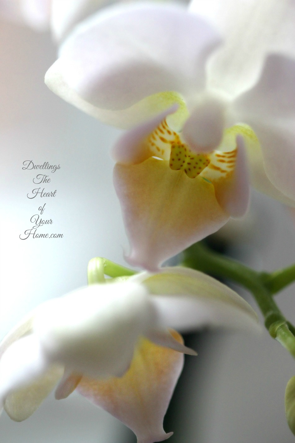 Moth Orchid