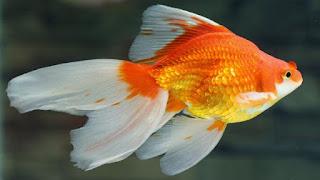 Cá vàng đuôi quạt thích ăn gì? sống ở đâu? giá bao nhiêu tiền?