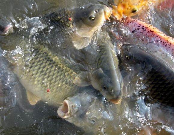 Essen Ikan Mas Kilo Gebrus Segala Cuaca | Jual Master Essen Ikan Mas Terlaris