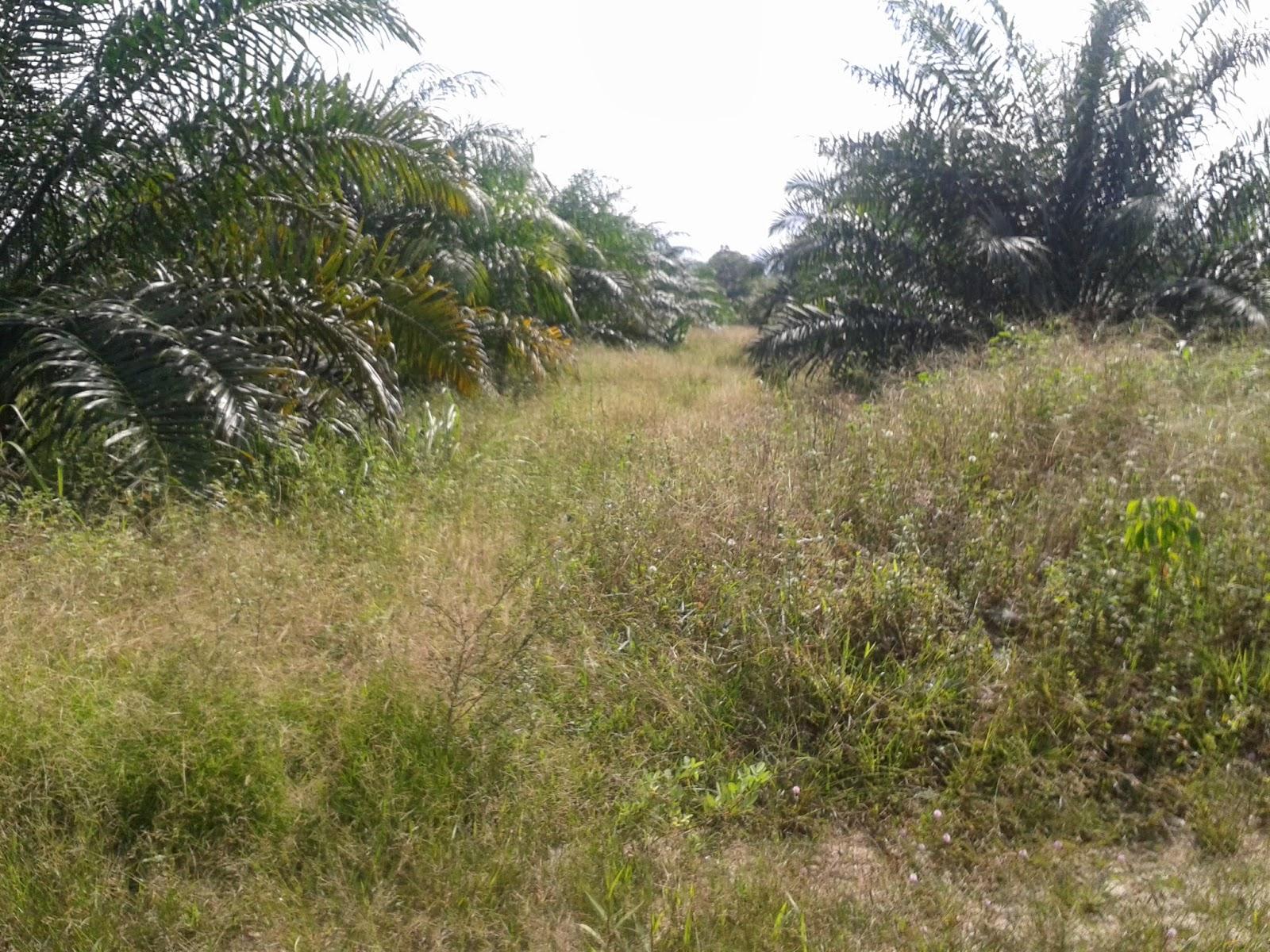 lahan sebelum penyemprotan herbisida alami