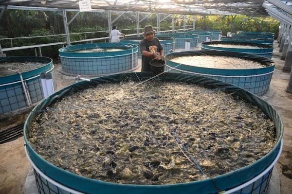 Budidaya Ikan Lele Menggunakan Teknik Bioflok