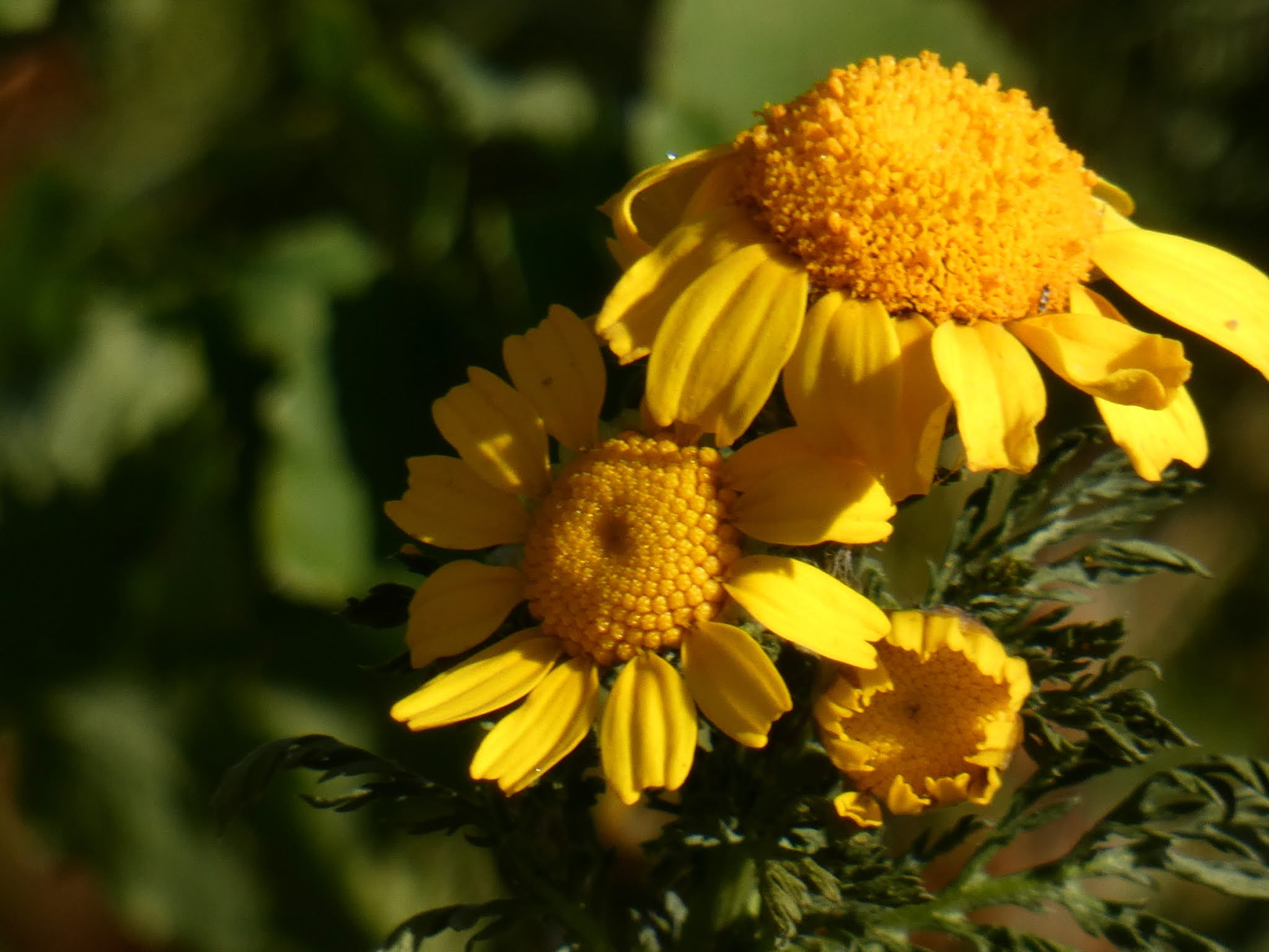 Sincerely Loree: Crown daisies