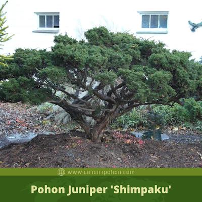 Ciri Ciri Pohon Juniper 'Shimpaku'