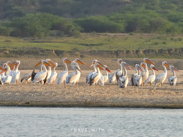 Dalmatian and Great White Pelicans