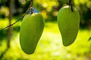 benefits of mango, benefits of mango leaves