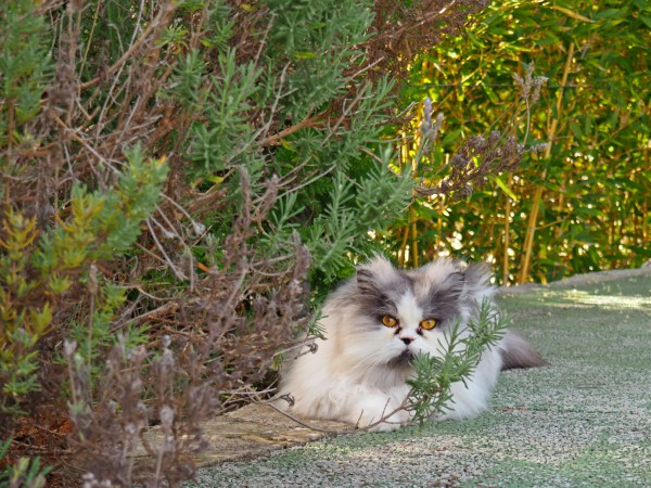 persian cats mallorca
