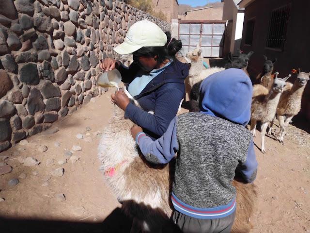 Die Junglamas bekommen ihre Milch