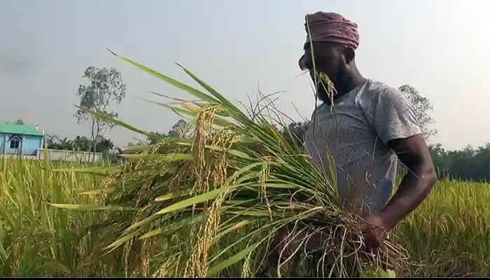 বকশীগঞ্জে আমন ধানের দামে খুশি কৃষক