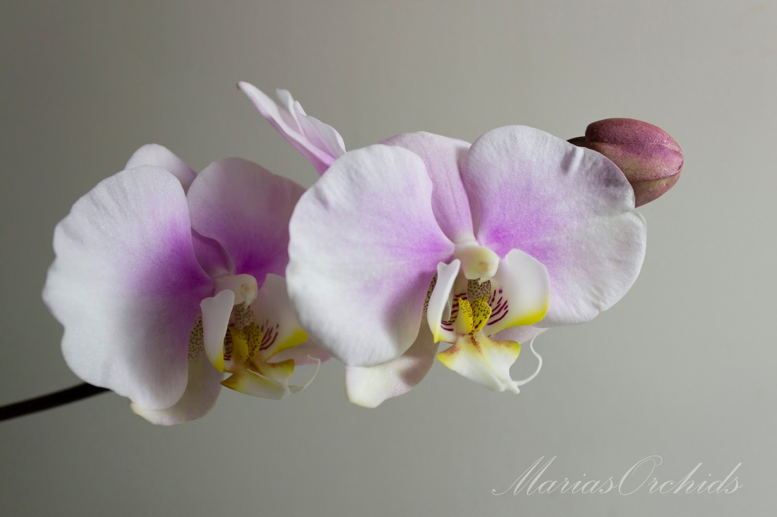 Marias Orchids My Orchid Flowers Gallery