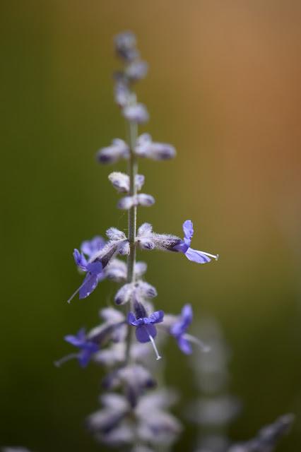 perovskia atriplicifolia, russian sage, small sunny garden, garden bloggers bloom day, amy myers, desert garden