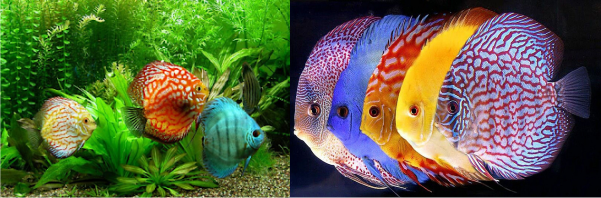 contoh Ikan hias Discus