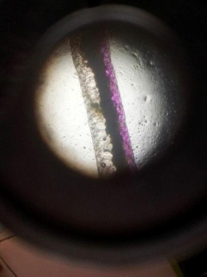 Kegiatan 1.2 Mengamati Sel Tumbuhan Adam Hawa (Rhoeo discolor) dengan Mikroskop