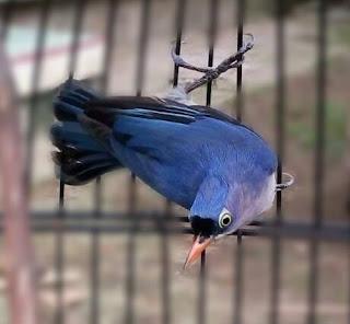 Suara Burung Rambatan Gacor