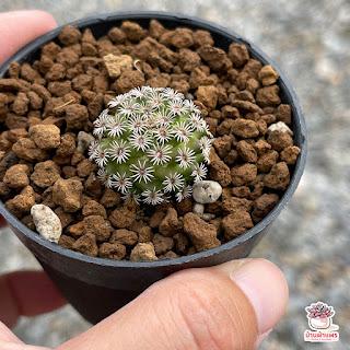 แมมหนามแมงมุม Mammillaria hernandezii แมมเฮอนันเดซ