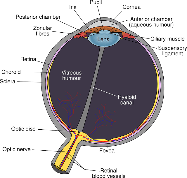 facts about the human eye