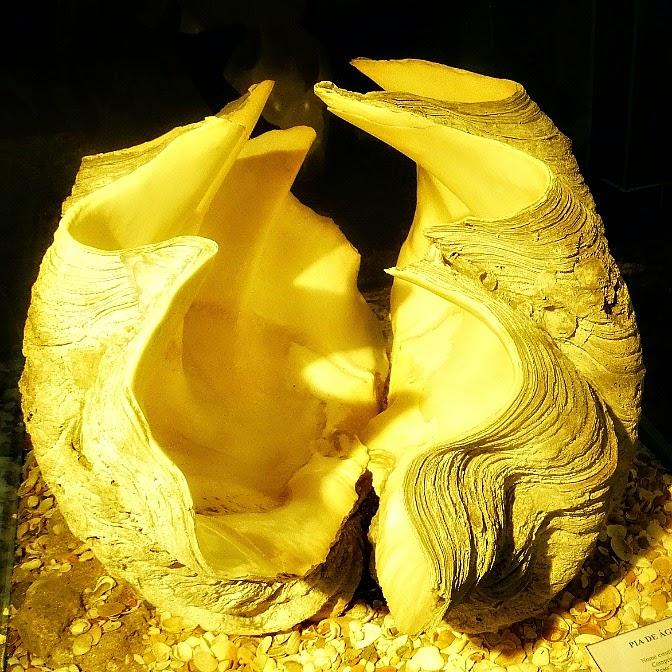 Pia de Água Benta: o molusco bivalvo gigante, no Museu Oceanográfico de Rio Grande