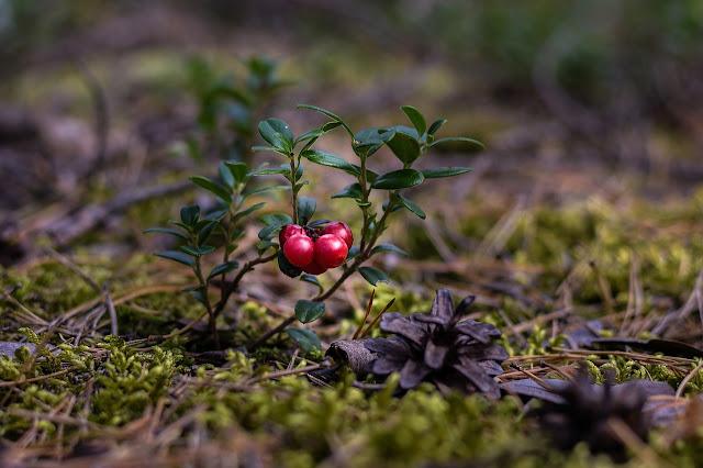 arandanos rojos en forma natural