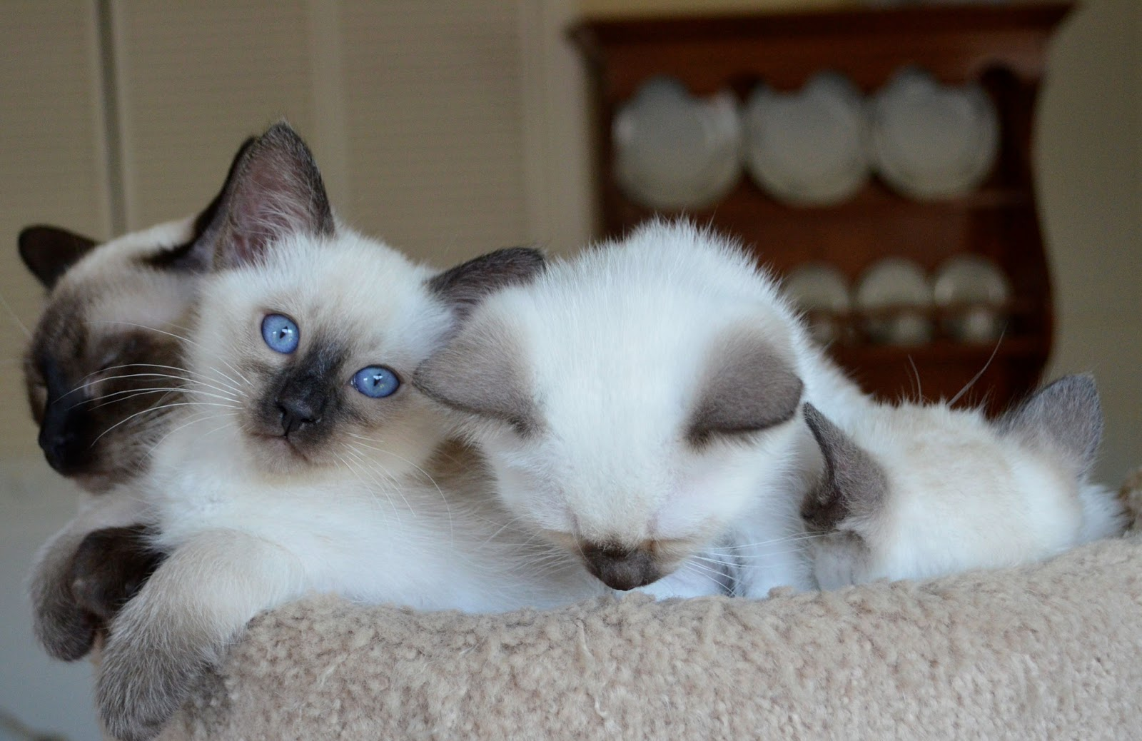 Sorry sold) Siamese/Balinese kittens | Baliwest