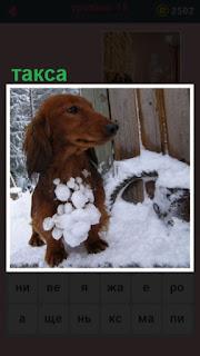 на снегу стоит собака породы такса, вся грудь в снегу
