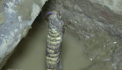 Memancing ular kobra pakai air.
