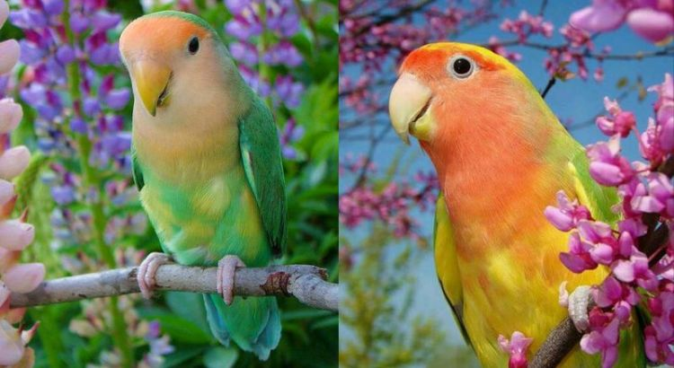 The 10 Most Excellent Lovebird Types And The Lovebird Color Trend