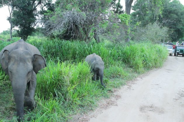 An elephant crossing at Minneriya National Park, Srilanka