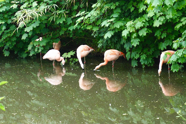 flamingos-twycross-zoo