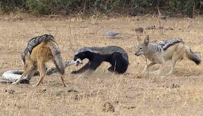 Ular sanca, musang madu dan serigala