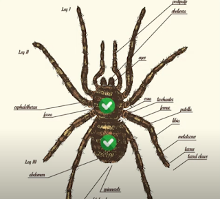 spiders have 2 body regions