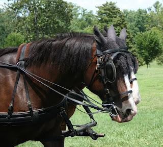 حصان هاكني