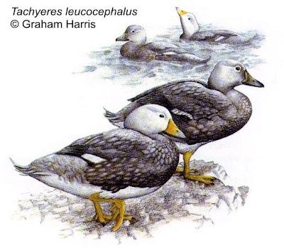 patos de Argentina Quetro cabeza blanca Tachyeres leucocephalus