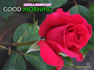 Rose flower good morning wishes images