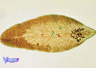 Contoh Hewan Invertebrata Cacing Pipih