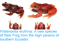 https://sciencythoughts.blogspot.com/2018/05/pristimantis-erythros-new-species-of.html