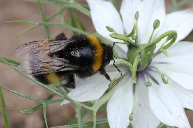 Un abejorro común rebuscando en una flor de arañuela (Nigella damascena)