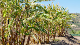 bioetanol dari batang pisang, pisang, batang pisang, bioetanol