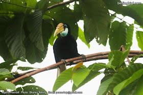 Blyth's hornbill in Malagufuk village