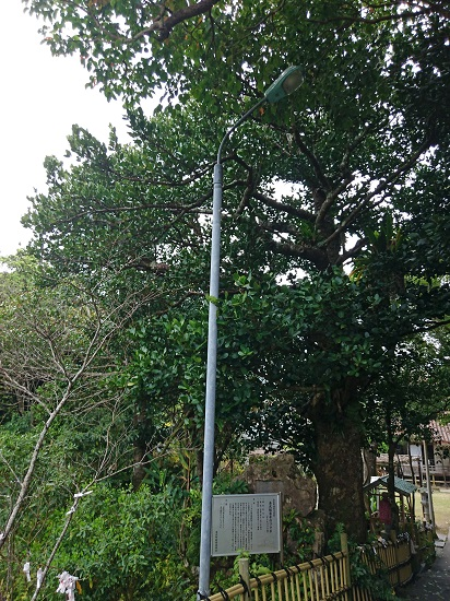 金武観音寺のフクギの写真