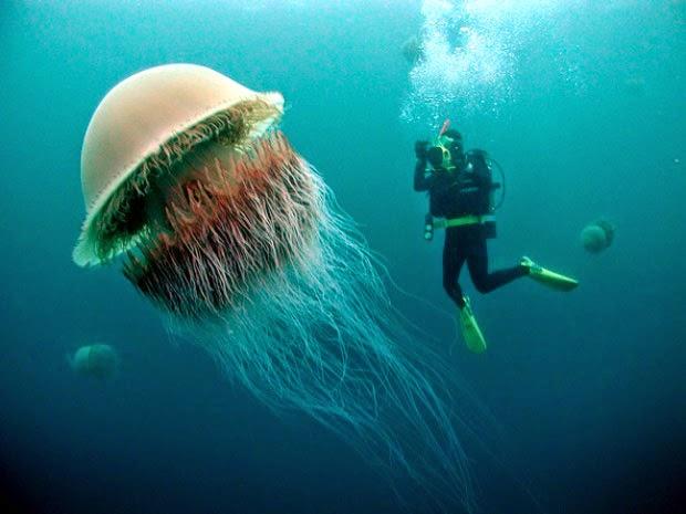 Box Jellyfish Size Comparison   www.imgkid.com - The Image ...