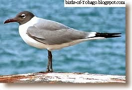 Laughing Gull (Larus atricilla) Sea Gull