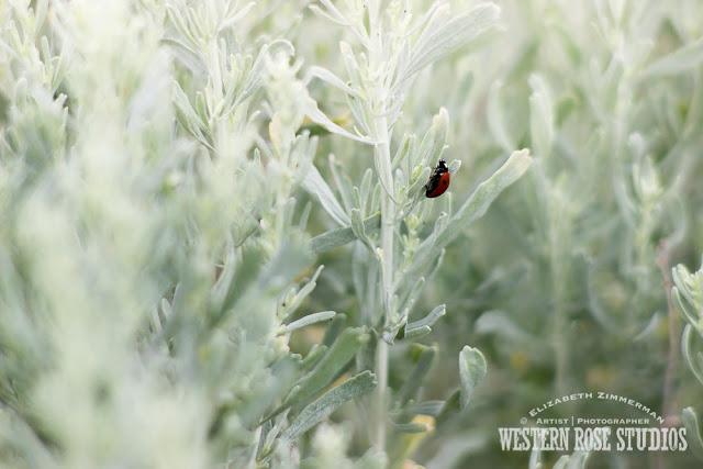 Ladybug | WesternRoseStudios © Elizabeth Zimmerman