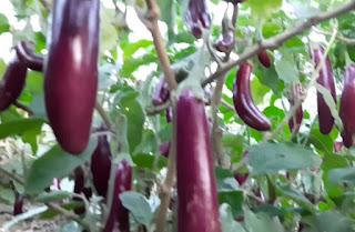 बैगन की उन्नत हाईब्रिड किस्में hybrid varieties of brinjal, रोग कम और उत्पादन ज्यादा।