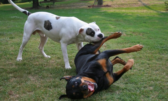 American Bulldog Coaching – Don't Let Your Dog Be A Nuisance