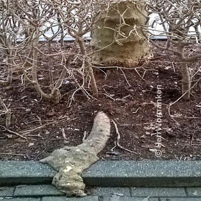 Straßenrand Foto: Plantanenstamm  hinter blätterlosem Haselstrauchgestrüpp (sieht aus wie Gitter). Davor kommt eine dicke Plantanenwurzel hervor und kriecht über den Boden. Sieht aus, wie ein Gesicht hinter dem Gitter, das einen Arm (Hand) austreckt um etwas zu ergattern.