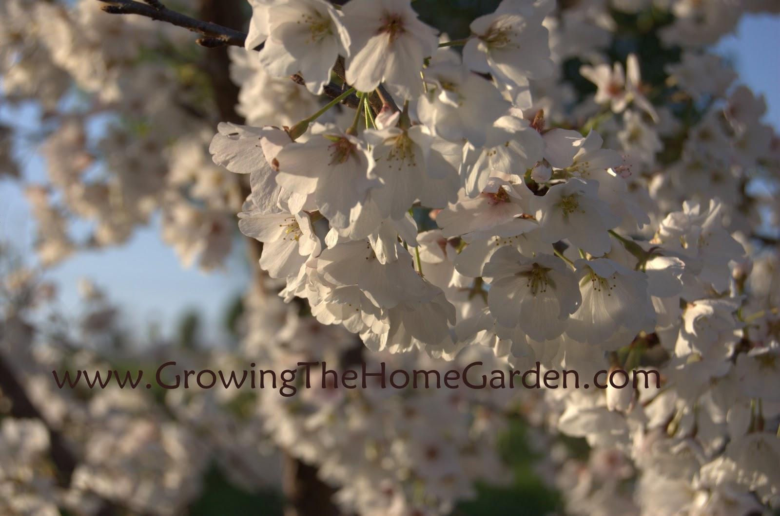 Gardening A Yoshino Cherry Tree In Full Bloom