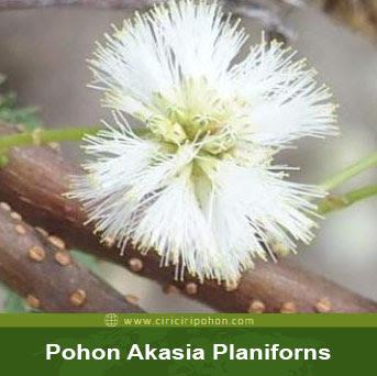 ciri ciri pohon akasia planiforns