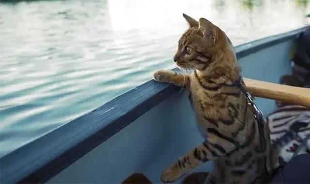 Les Chats Du Bengale Aiment-Ils Nager